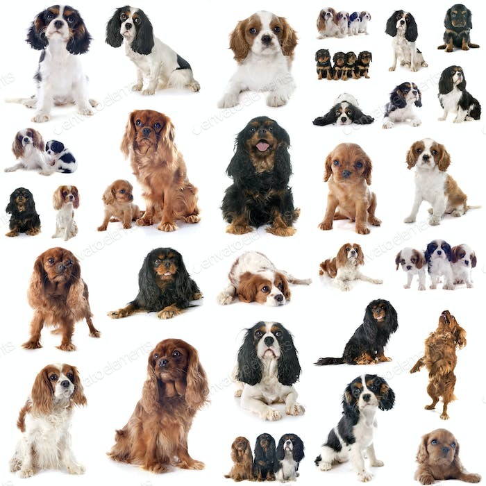 group of cavalier king charles
