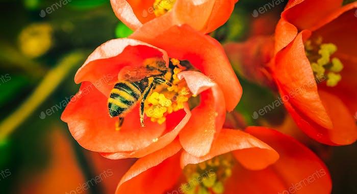 Honigbiene sammeln Nektar aus roter Blume. Wichtig für Umweltökologie Nachhaltigkeit