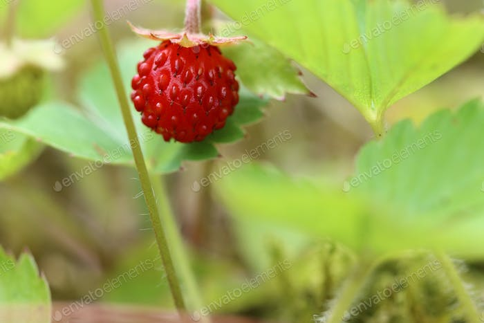 Detail of the ripe wild strawberry