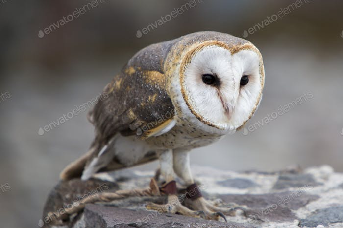 Closeup of Barn Owl