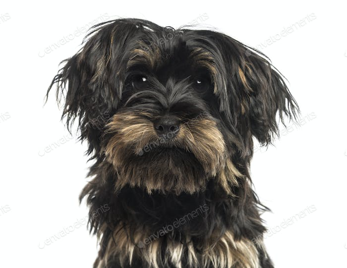 Close-up of a Yorkshire terrier puppy, looking at the camera, isolated on white