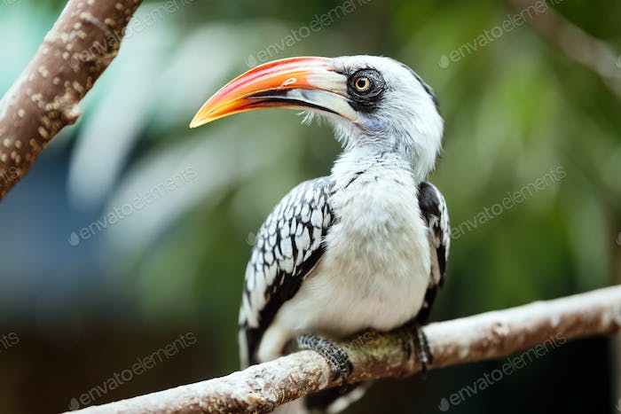 A beautiful Southern Yellow-billed Hornbill