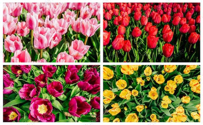 Collage von Tulpen in Holland.