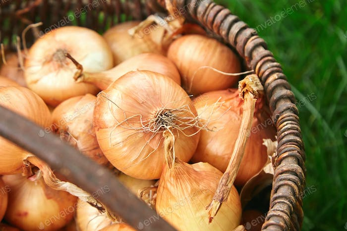 Fresh onions harvest  in wooden basket on grass.