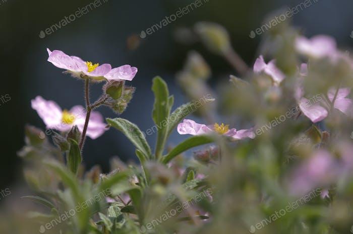 Pink Cistus Flower