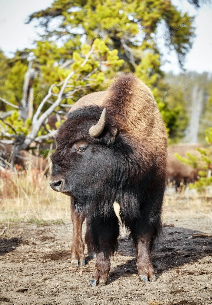 American bison in Yellowstone National Park.