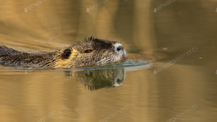 Close-up of nutria with orange teeth swimming in water at sunset