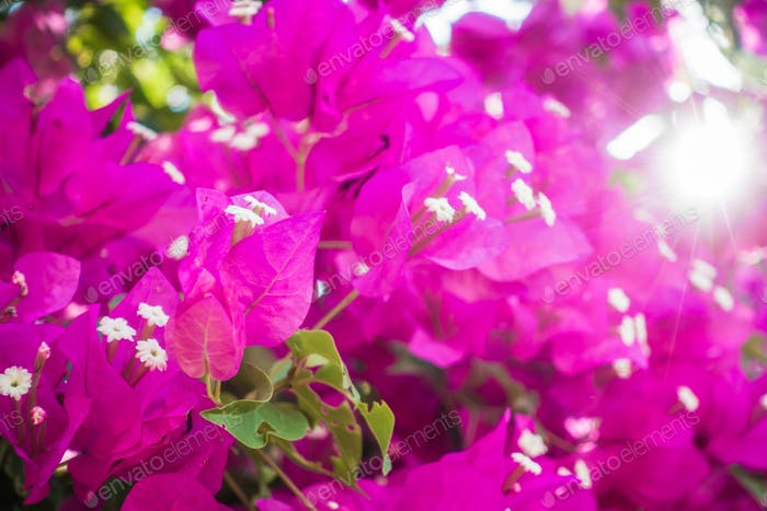 Purple colored blooming Bougainvillea flowers.