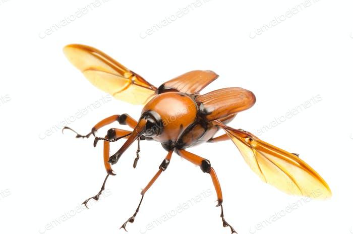brown palm weevil beetle