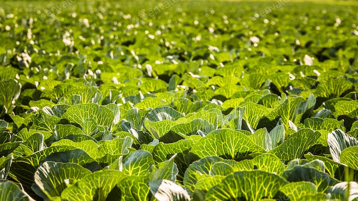 Crops of cabbage