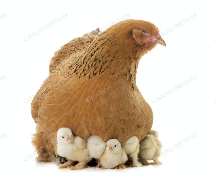 Brahma Huhn und Küken