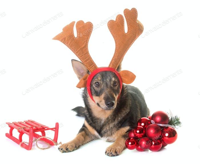 Swedish Vallhund and reindeer horn
