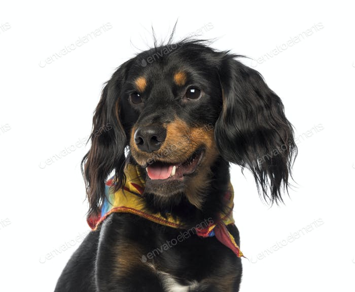 Close-up of a Crossbreed dog panting, looking away, isolated on white