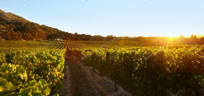 Weintraubenfeld unter klarem blauem Himmel
