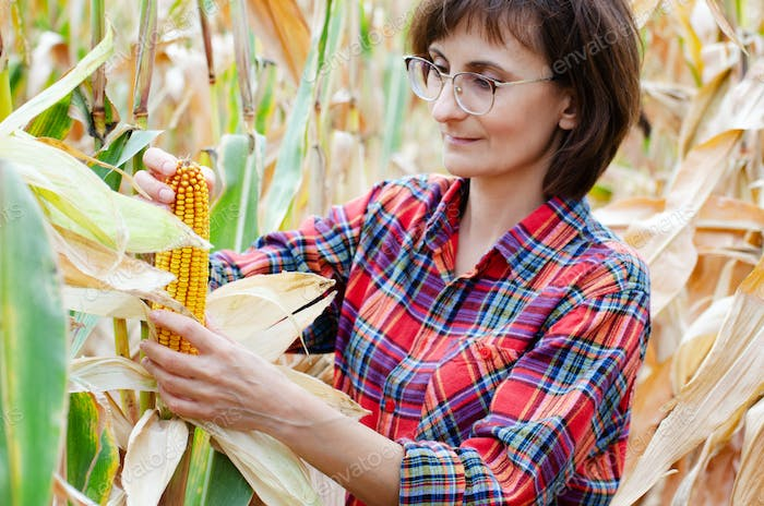 female farm worker in glasses inspecting corn cobs