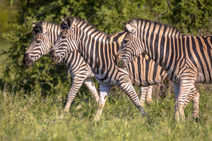 Three Common Zebra