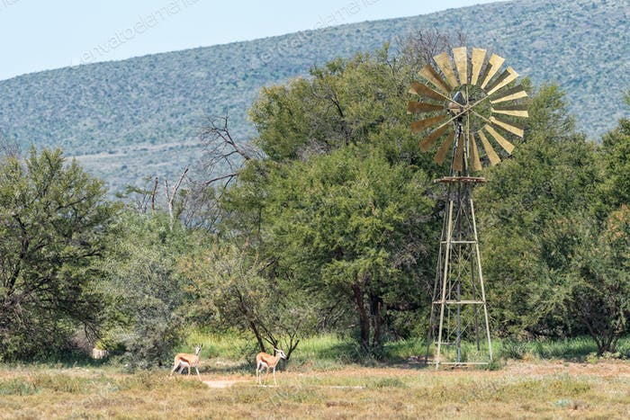 Springbok and a water-pumping windmill in the Karoo