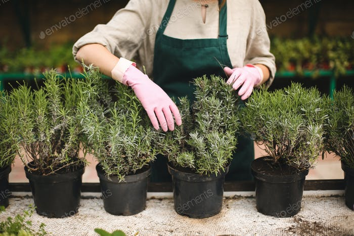 Close up woman hands in pink gloves caring about plants in pots while working in greenhouse