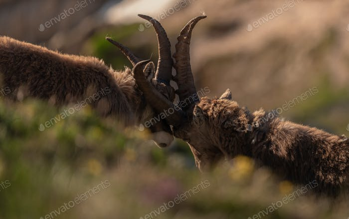 Alpine ibex in the high mountains