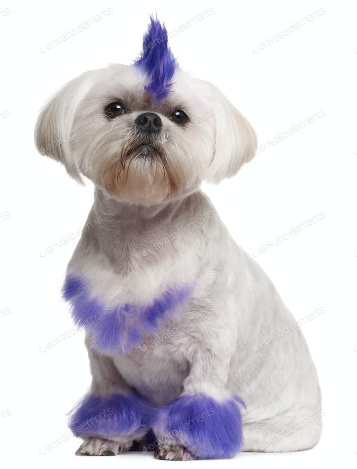 Shih Tzu with purple mohawk, 2 years old, sitting in front of white background