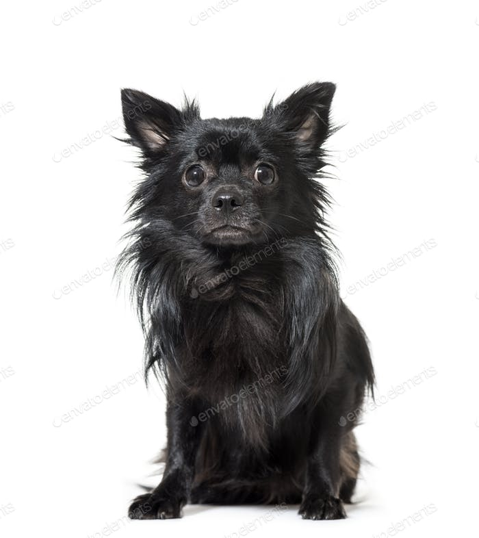 Portrait of a Chihuahua dog sitting in front of a white background