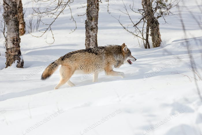 Wolf strolling by bare trees on snow in the forest
