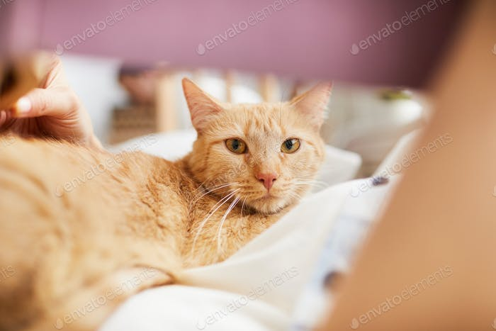 Shorthaired Ginger Cat Looking at Camera
