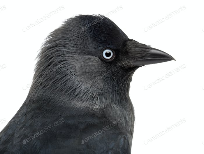 Close-up of a Western Jackdaw, Corvus monedula, (or Eurasian, or European or simply )