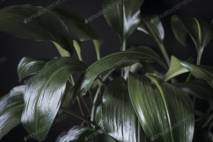 Close up detail of dark green Eucharis leaves