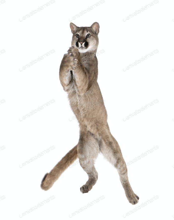 Puma cub - Puma concolor (1 year old)