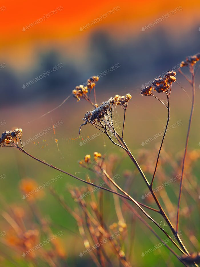 Dried flowers and plants on a background sunset