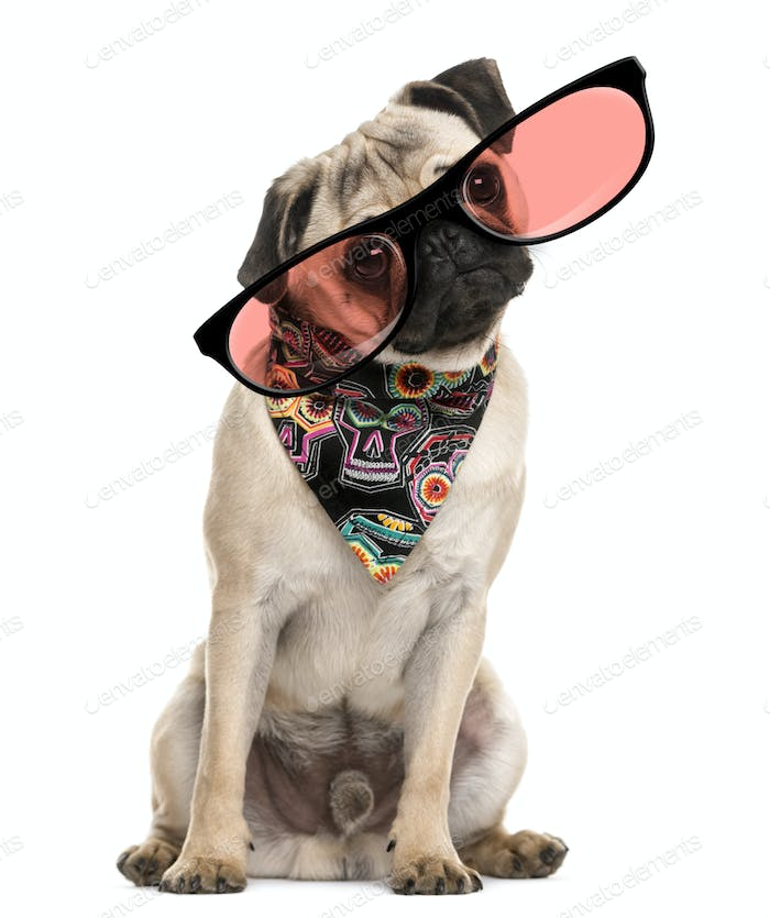 Pug sitting and wearing a scarf and glasses in front of a white background