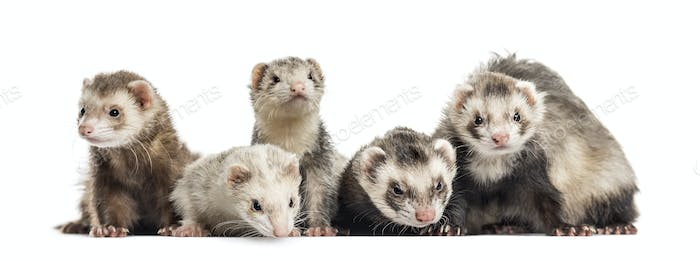 Five Ferrets in a raw on white background, studio photography
