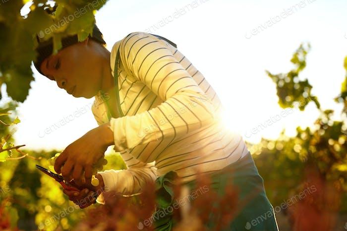 Woman harvesting grapes in vineyard