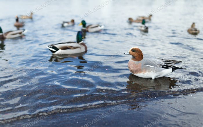 Lots of duck