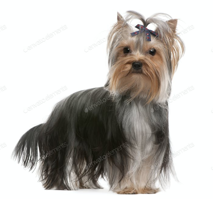 Yorkshire Terrier (13 months old)
