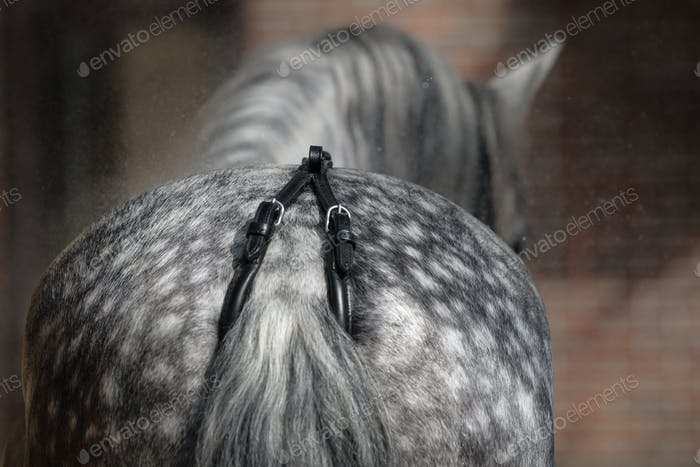 Back view of dapple-gray horse. Close up croup whis crupper.