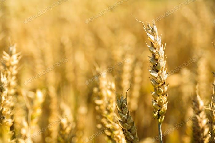 Wheat spikes on golden field