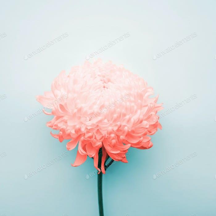 Chrysanthemen-Blume auf blauem Hintergrund.