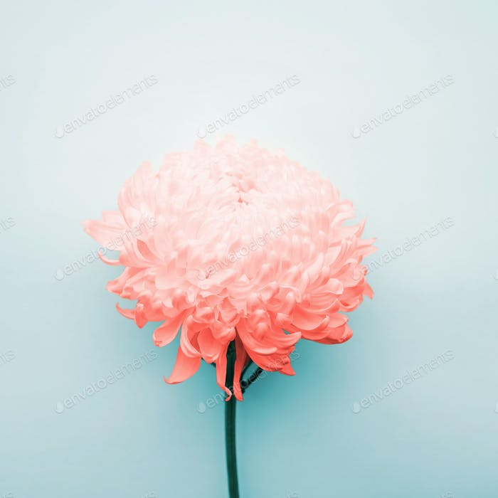 Chrysanthemum Flower on Blue Background.