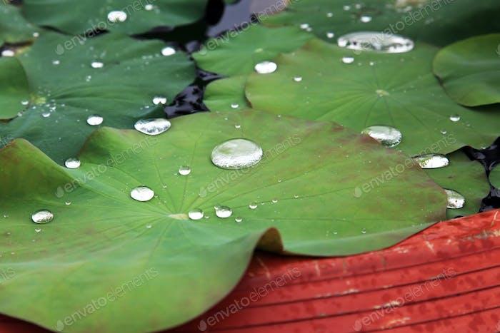 Water drops on lotus leaves