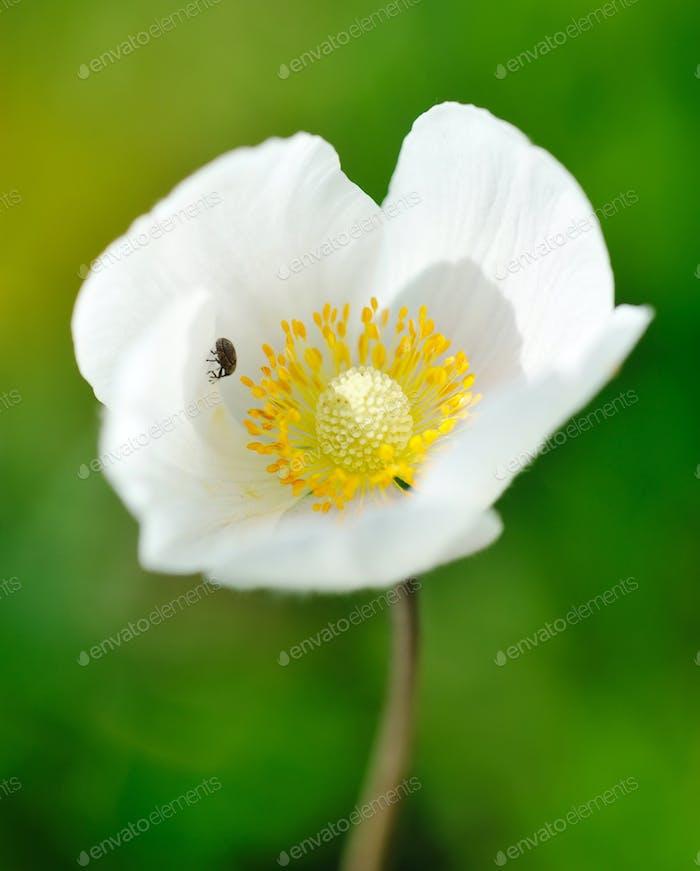 Anemone sylvestris (snowdrop anemone)
