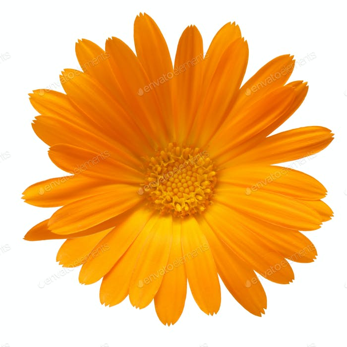Calendula officinalis flower, clipping path