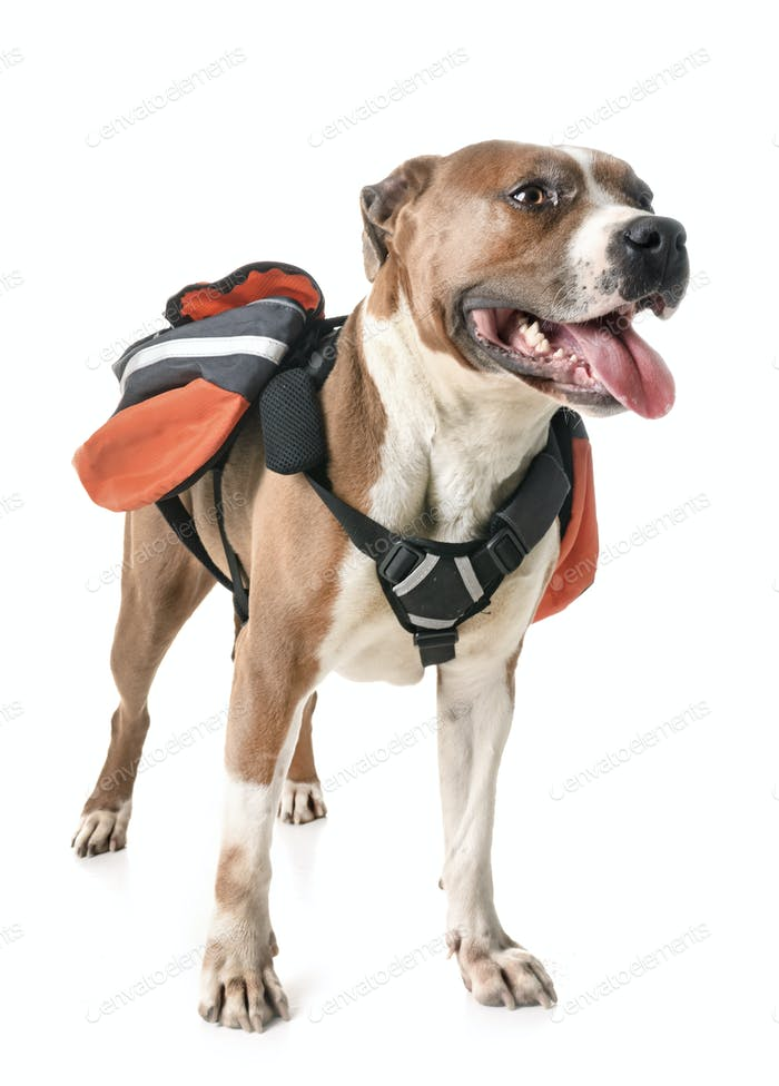 american staffordshire terrier and bag