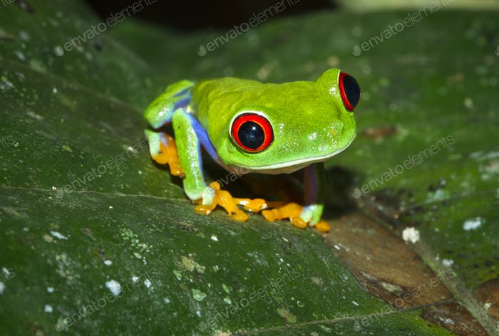 Red-eyed Treefrog on a Leaf at Night in Costa Rica