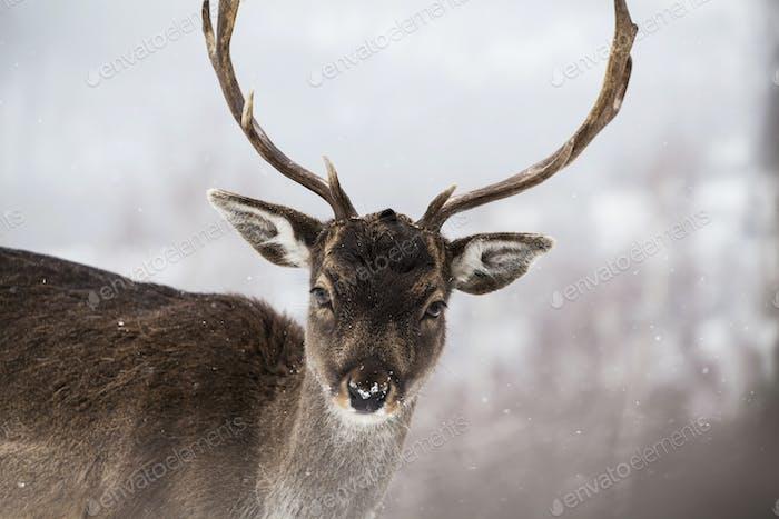 Deer in wintertime