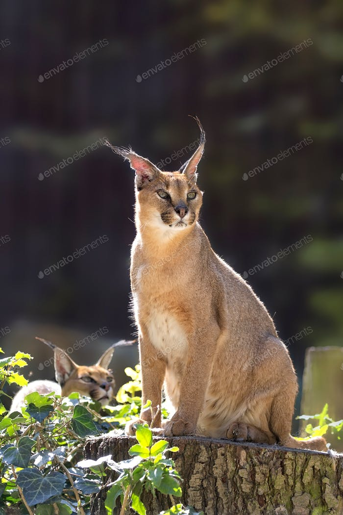 Caracal in the wild