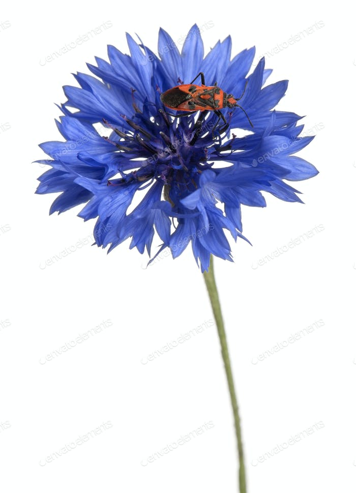 Scentless plant bug, Corizus hyoscyami, on cornflower in front of white background