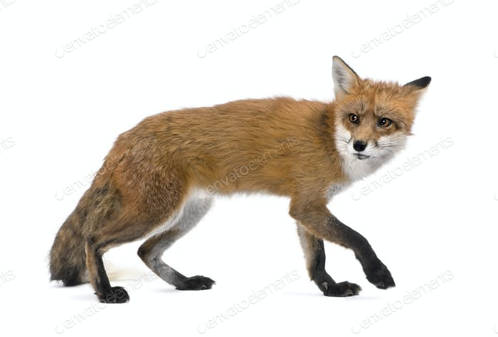 Red Fox, Vulpes vulpes, 4 years old walking against white background, studio shot