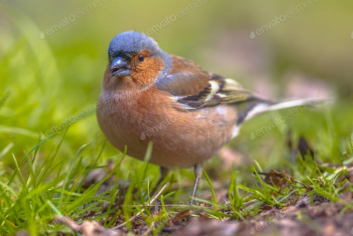 Chaffinch on lawn looking